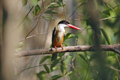 Black-capped Kingfisher Halcyon pileata Beautiful Birds of Thailand Stock Photo