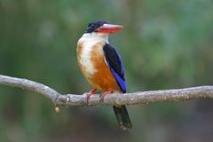Black-capped Kingfisher Halcyon pileata Beautiful Birds of Thailand Royalty Free Stock Photos
