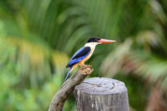Black-capped Kingfisher(Halcyon pileata) Royalty Free Stock Image