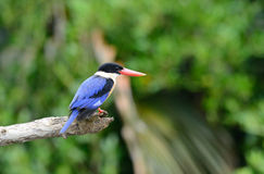 Black-capped Kingfisher(Halcyon pileata) Stock Image
