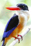 Black capped Kingfisher Halcyon pileata Royalty Free Stock Image