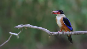 Black-capped Kingfisher Halcyon pileata Birds eating cricket stock video