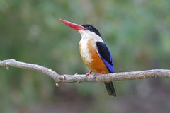 Black-capped Kingfisher Halcyon pileata Birds of Thailand Stock Photo
