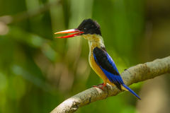 Black-capped Kingfisher Royalty Free Stock Photos