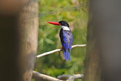 Black-capped Kingfisher Halcyon pileata Cute Birds of Thailand Stock Images
