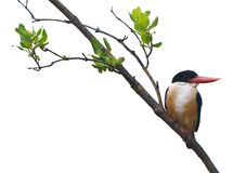 Black-capped Kingfisher isolated on white background Royalty Free Stock Photography