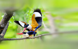 Black-capped Kingfisher. Looks for food in the woods Royalty Free Stock Photos