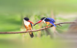 Black-capped Kingfisher. Looks for food in the woods Stock Image