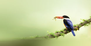 Black-capped Kingfisher. Looks for food in the woods Royalty Free Stock Image