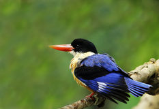 Black-capped Kingfisher Stock Image