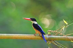 Black-capped Kingfisher in Thailand Stock Image