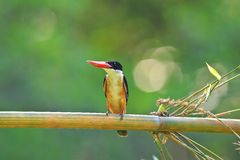 Black-capped Kingfisher in Thailand Stock Photo