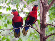Black capped lories royalty free stock image