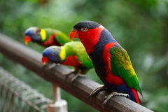 Black-capped lories (Lorius lory) Stock Photo