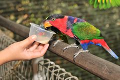 black capped lory arkivfoton