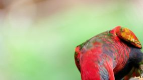 A Black-capped lory is eating fruit on a branch in forest with blurred background. Close up. 4K stock footage