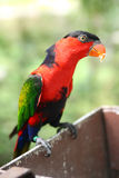 Black Capped Lory feeding Stock Photo
