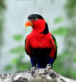 Black-capped Lory stock photo