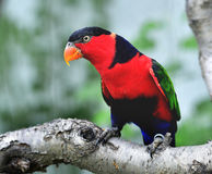Black-capped Lory Stock Images