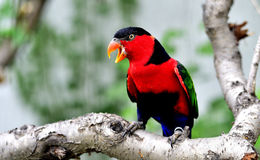 Black-capped Lory Royalty Free Stock Photo