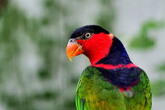 Black-capped Lory Royalty Free Stock Images