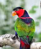 Black-capped Lory Royalty Free Stock Image