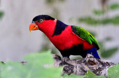 Black-capped Lory Stock Image