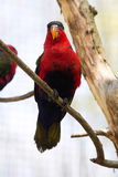 Black-capped Lory, Lorius lory erythrothorax, full of colors Royalty Free Stock Photography