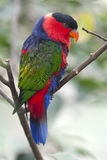 Black Capped Lory Parrot Royalty Free Stock Image