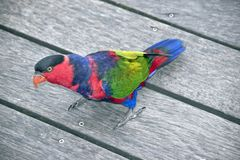 Black capped lory Royalty Free Stock Images