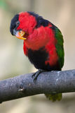 Black-capped lory (Lorius lory erythrothorax) Royalty Free Stock Photo