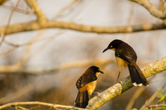 Black Capped Mocking-Thrush Pair Conversing Stock Photography