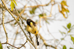 Black Capped Mocking-Thrush Preening on Thorny Branch. A Black Capped Mocking-Thrush preening its striped yellow feathers while perching on thorny branch Royalty Free Stock Image