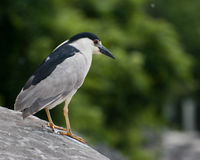 Black-capped Night-heron. Standing ona rock Stock Images