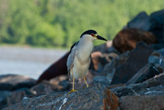 Black-capped Night-heron. Standing on a rock along River Royalty Free Stock Images