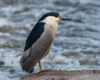 Black-capped Night-heron. On Boulders along River Stock Photos