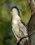 Black Capped Night Heron Royalty Free Stock Images