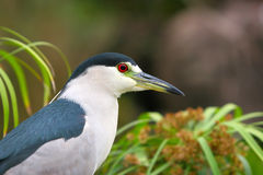 Black Capped Night Heron. Profile Royalty Free Stock Photography