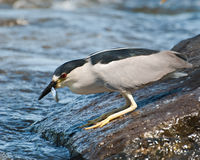 Black-capped Night-heron Fishing. On a rock along the River with Fish in Beak Royalty Free Stock Photo