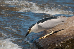 Black-capped Night-heron Fishing. On a rock along the River with Fish in Beak Stock Photo