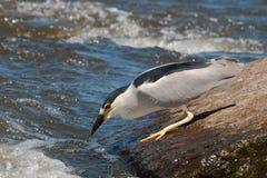 Black-capped Night-heron Fishing Stock Photo