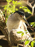 Black capped Night heron. Black-capped Night heron perched in a tree Royalty Free Stock Photography