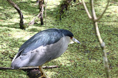 Black Capped Night Heron Stock Photo