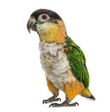 Black-capped parrot, isolated Royalty Free Stock Images