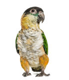 Black-capped parrot, isolated Stock Images