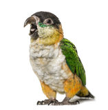Black-capped parrot opening beak, isolated Stock Photography