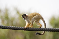 Black-capped Squirrel Monkey Royalty Free Stock Images