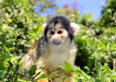 Black-capped squirrel monkey Stock Photography