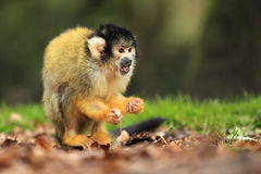Black-capped squirrel monkey. The eating black capped squirrel monkey in the grass Stock Photos