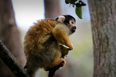 Black-capped squirrel monkey, South Africa Stock Photography